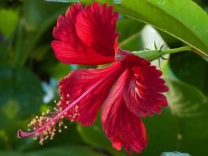 La fleur comestible et antioxydante de l'hibiscus