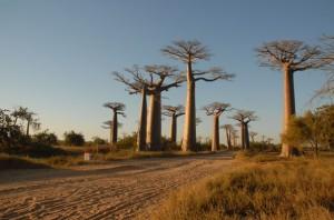 Le baobab bio produit le pain de singe, fruit antioxydant naturel puissant
