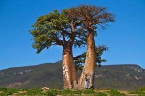 Le baobab africain est un arbre à protéger