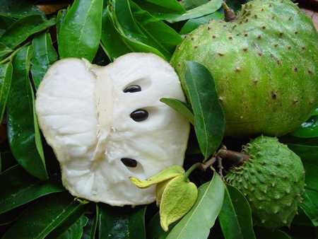 Feuilles et fruits du graviola bio le meilleur anti-cancer naturel