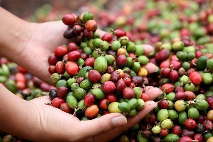 Le café vert bio une boisson anti-âge anti-cancer