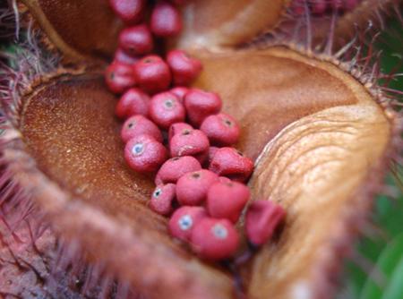 Le roucou ou l'urucum bio est un fruit que peut protèger du cancer de la peau