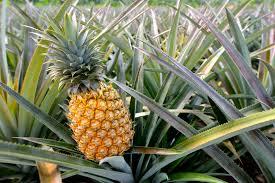 La bromélaïne broméline une enzyme extraite de la tige d'ananas traitement naturel du cancer